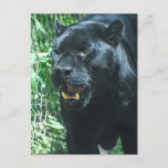 Black Panther Cat  Postcard