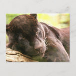 Black Panther Sleeping Postcard
