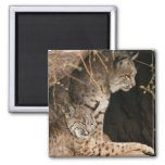 Bobcat Photos Square Magnet