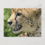 Cheetah Attack Postcard