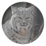 Creeping Bobcat Plate