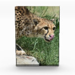 Gorgeous Sleek Cheetah Licking His Nose Acrylic Award