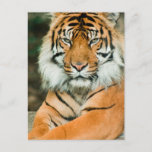 Orange Tiger Postcard