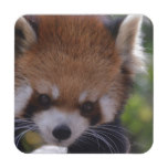 Prowling Red Panda Drink Coaster