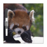 Prowling Red Panda Dry Erase Board