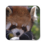 Prowling Red Panda Square Sticker