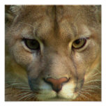 Puma Mountain Cat Poster Print