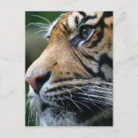 Tiger Picture Postcard