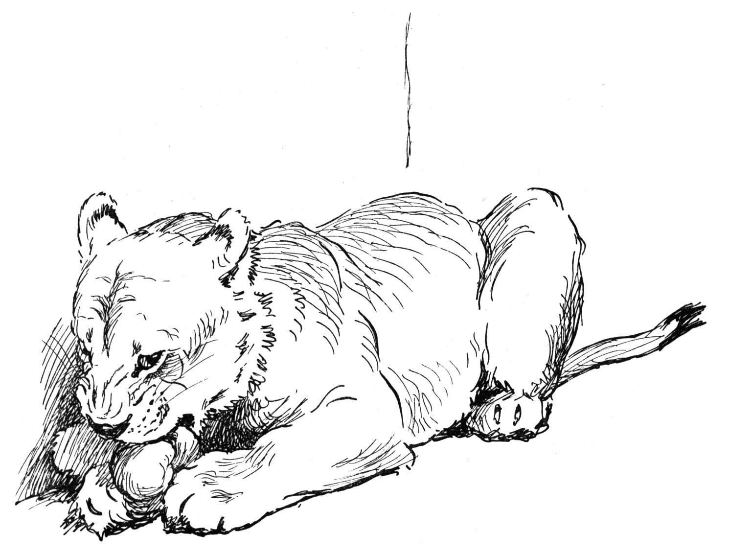 Free coloring pictures of lions - Lion