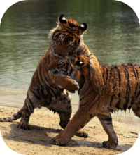 Fighting Tigers