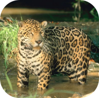 Leopard in Water